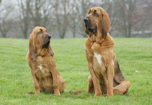 Bloodhound ırk bılgıleri