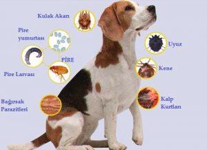 köpek parazit cesitleri
