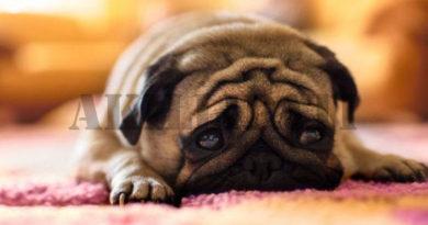 Köpeklerde Alerji Problemleri